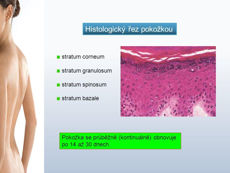 stratum corneum stratum granulosum stratum spinosum stratum bazale Pokožka se průběžně (kontinuálně) obnovuje po 14 až 30 dnech.