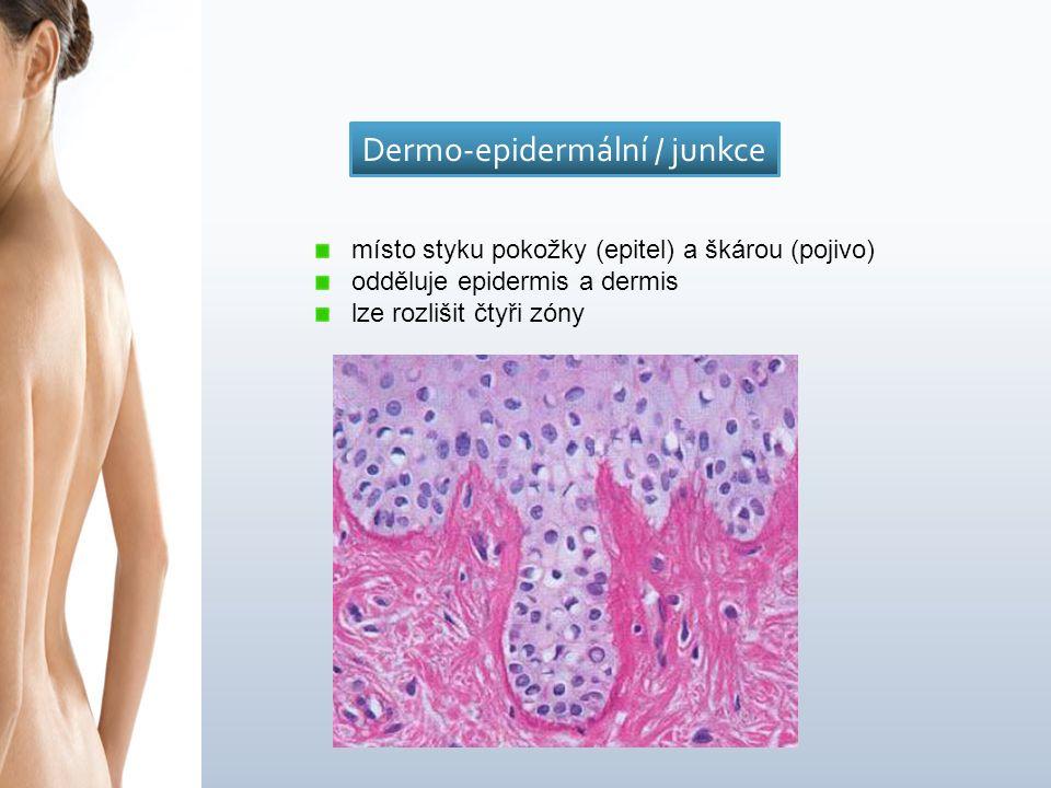 místo styku pokožky (epitel) a škárou (pojivo) odděluje epidermis a dermis lze rozlišit čtyři zóny