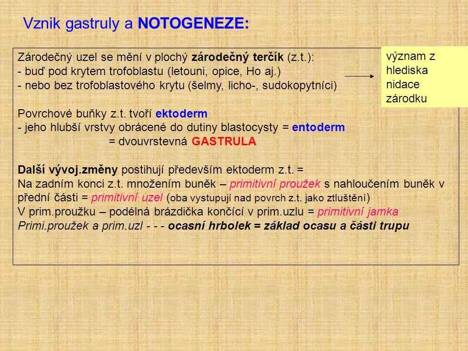 Vznik gastruly a NOTOGENEZE: Zárodečný uzel se mění v plochý zárodečný terčík (z.t.): - buď pod krytem trofoblastu (letouni, opice, Ho aj.) - nebo bez trofoblastového krytu (šelmy, licho-, sudokopytníci) Povrchové buňky z.t.
