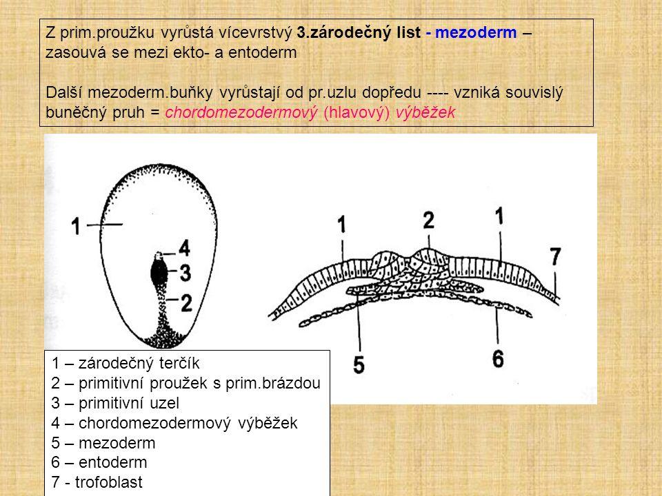 Z prim.proužku vyrůstá vícevrstvý 3.zárodečný list - mezoderm – zasouvá se mezi ekto- a entoderm Další mezoderm.buňky vyrůstají od pr.uzlu dopředu ---- vzniká souvislý buněčný pruh = chordomezodermový (hlavový) výběžek 1 – zárodečný terčík 2 – primitivní proužek s prim.brázdou 3 – primitivní uzel 4 – chordomezodermový výběžek 5 – mezoderm 6 – entoderm 7 - trofoblast