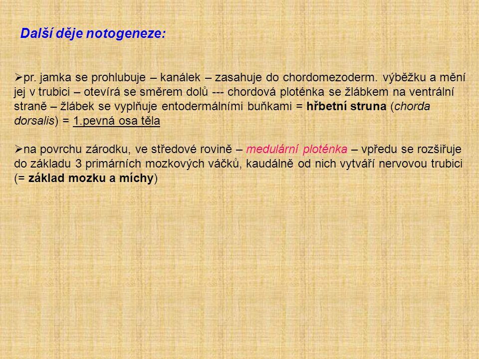Další děje notogeneze:  pr. jamka se prohlubuje – kanálek – zasahuje do chordomezoderm.