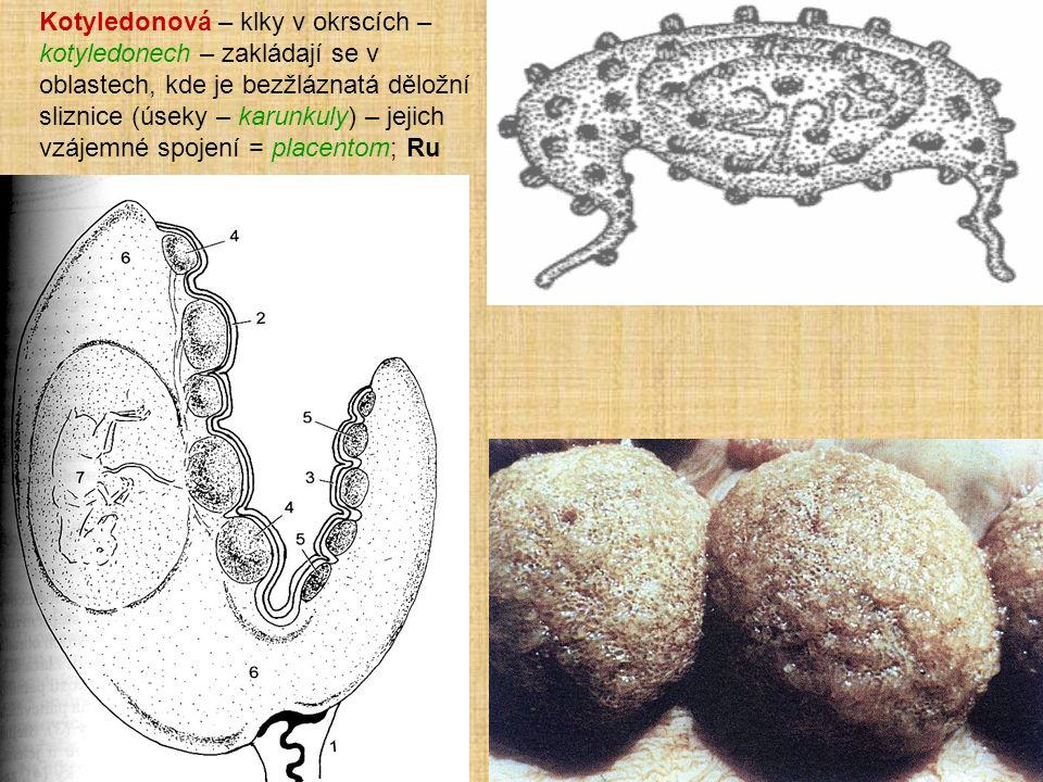 Kotyledonová – klky v okrscích – kotyledonech – zakládají se v oblastech, kde je bezžláznatá děložní sliznice (úseky – karunkuly) – jejich vzájemné spojení = placentom; Ru