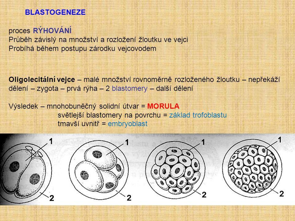 BLASTOGENEZE proces RÝHOVÁNÍ Průběh závislý na množství a rozložení žloutku ve vejci Probíhá během postupu zárodku vejcovodem Oligolecitální vejce – malé množství rovnoměrně rozloženého žloutku – nepřekáží dělení – zygota – prvá rýha – 2 blastomery – další dělení Výsledek – mnohobuněčný solidní útvar = MORULA světlejší blastomery na povrchu = základ trofoblastu tmavší uvnitř = embryoblast