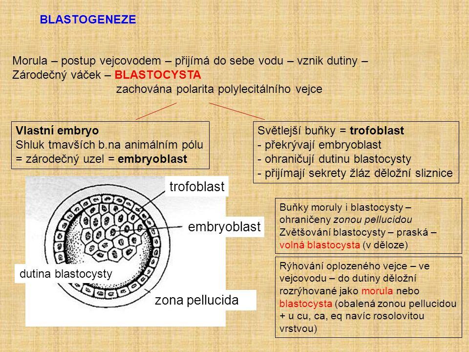 BLASTOGENEZE Morula – postup vejcovodem – přijímá do sebe vodu – vznik dutiny – Zárodečný váček – BLASTOCYSTA zachována polarita polylecitálního vejce Vlastní embryo Shluk tmavších b.na animálním pólu = zárodečný uzel = embryoblast Světlejší buňky = trofoblast - překrývají embryoblast - ohraničují dutinu blastocysty - přijímají sekrety žláz děložní sliznice zona pellucida embryoblast dutina blastocysty trofoblast Buňky moruly i blastocysty – ohraničeny zonou pellucidou Zvětšování blastocysty – praská – volná blastocysta (v děloze) Rýhování oplozeného vejce – ve vejcovodu – do dutiny děložní rozrýhované jako morula nebo blastocysta (obalená zonou pellucidou + u cu, ca, eq navíc rosolovitou vrstvou)