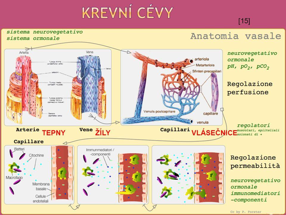 TEPNY ŽÍLY VLÁSEČNICE [15]
