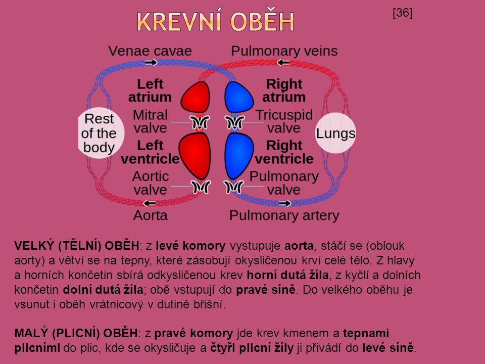 [36] VELKÝ (TĚLNÍ) OBĚH: z levé komory vystupuje aorta, stáčí se (oblouk aorty) a větví se na tepny, které zásobují okysličenou krví celé tělo.