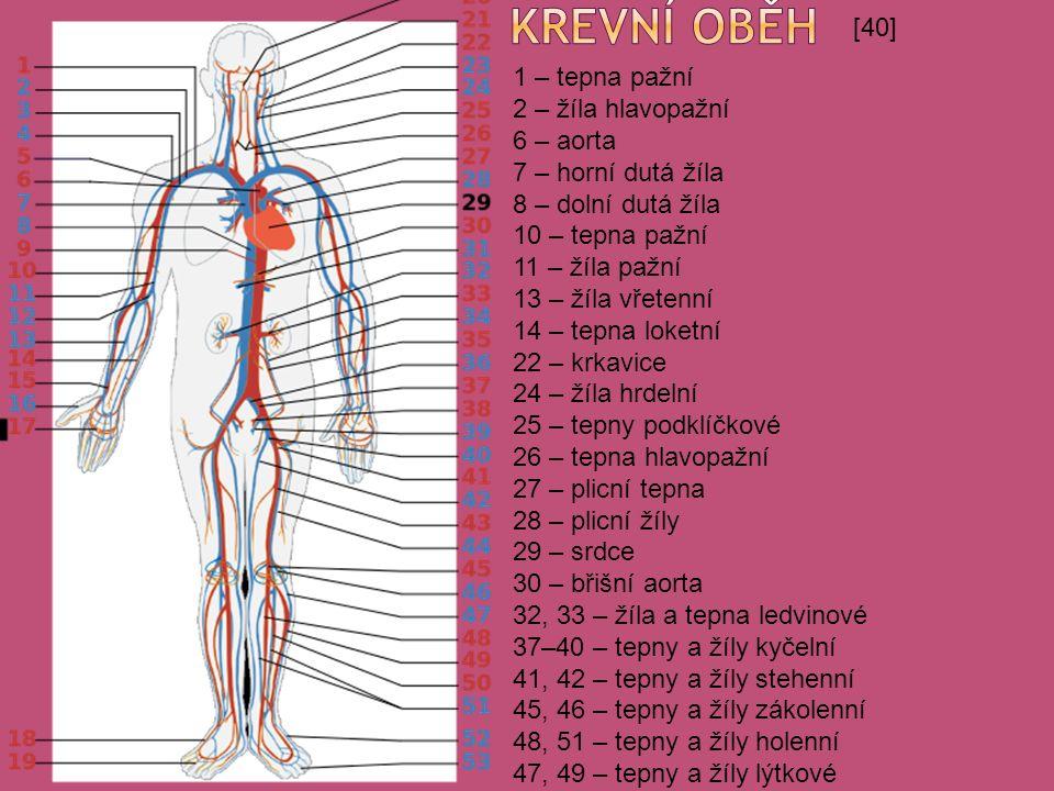 [40] 1 – tepna pažní 2 – žíla hlavopažní 6 – aorta 7 – horní dutá žíla 8 – dolní dutá žíla 10 – tepna pažní 11 – žíla pažní 13 – žíla vřetenní 14 – tepna loketní 22 – krkavice 24 – žíla hrdelní 25 – tepny podklíčkové 26 – tepna hlavopažní 27 – plicní tepna 28 – plicní žíly 29 – srdce 30 – břišní aorta 32, 33 – žíla a tepna ledvinové 37–40 – tepny a žíly kyčelní 41, 42 – tepny a žíly stehenní 45, 46 – tepny a žíly zákolenní 48, 51 – tepny a žíly holenní 47, 49 – tepny a žíly lýtkové