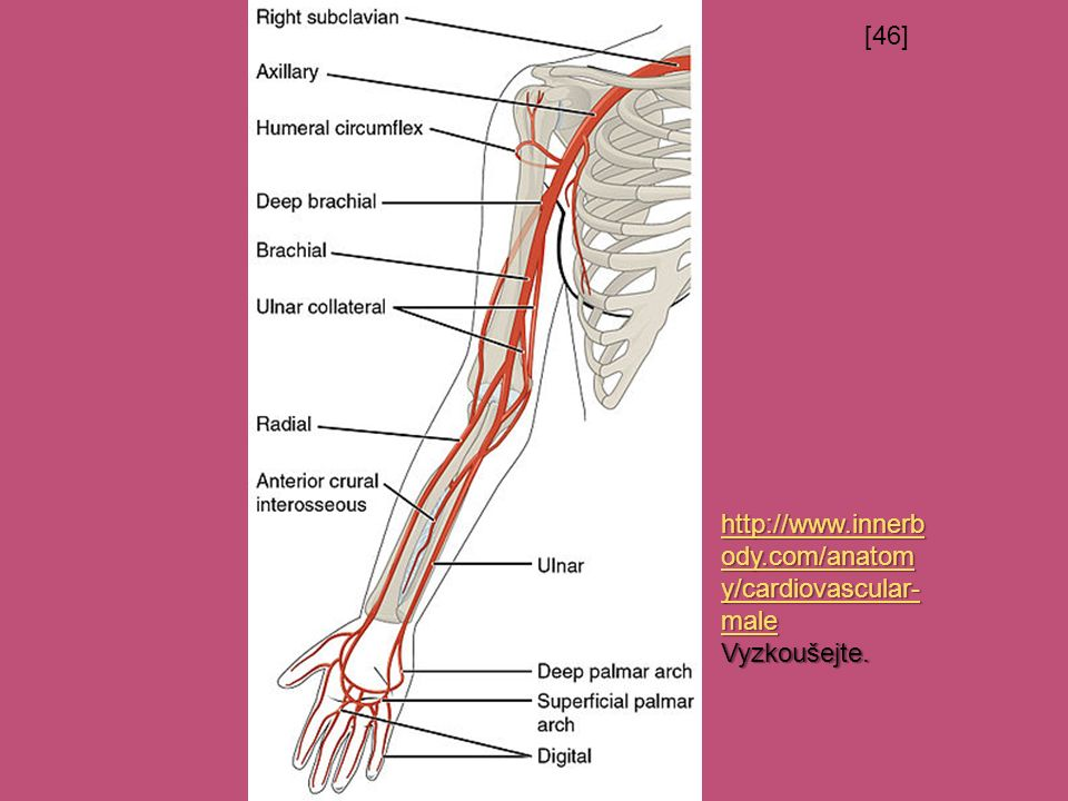 [46] http://www.innerb ody.com/anatom y/cardiovascular- male http://www.innerb ody.com/anatom y/cardiovascular- male Vyzkoušejte.