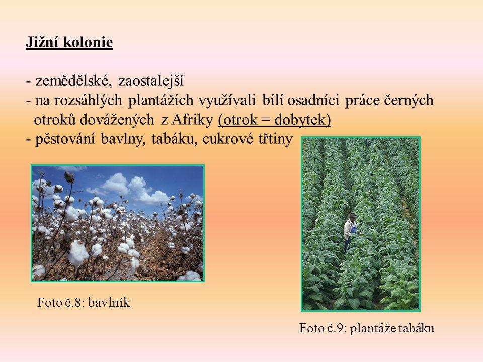 Jižní kolonie - zemědělské, zaostalejší - na rozsáhlých plantážích využívali bílí osadníci práce černých otroků dovážených z Afriky (otrok = dobytek) - pěstování bavlny, tabáku, cukrové třtiny Foto č.8: bavlník Foto č.9: plantáže tabáku