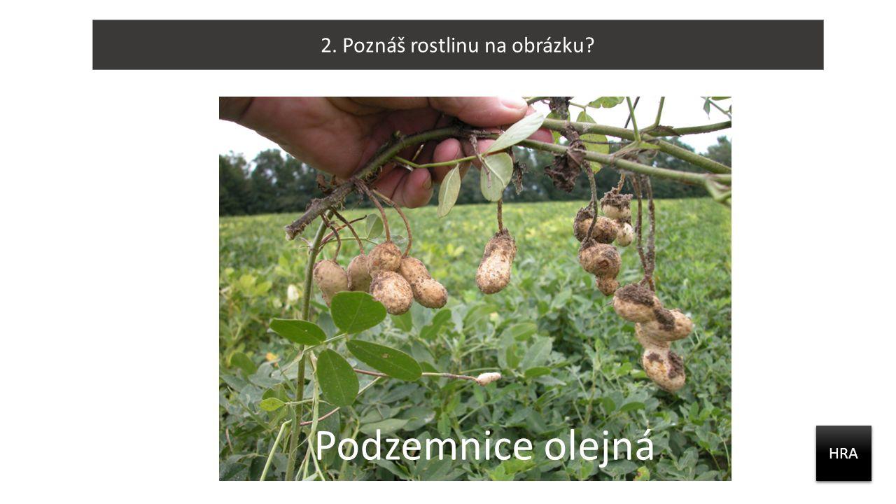 2. Poznáš rostlinu na obrázku? HRA Podzemnice olejná