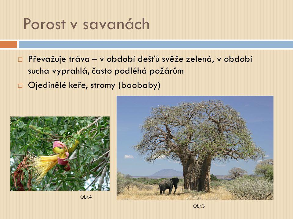 Porost v savanách  Převažuje tráva – v období dešťů svěže zelená, v období sucha vyprahlá, často podléhá požárům  Ojedinělé keře, stromy (baobaby) Obr.3 Obr.4
