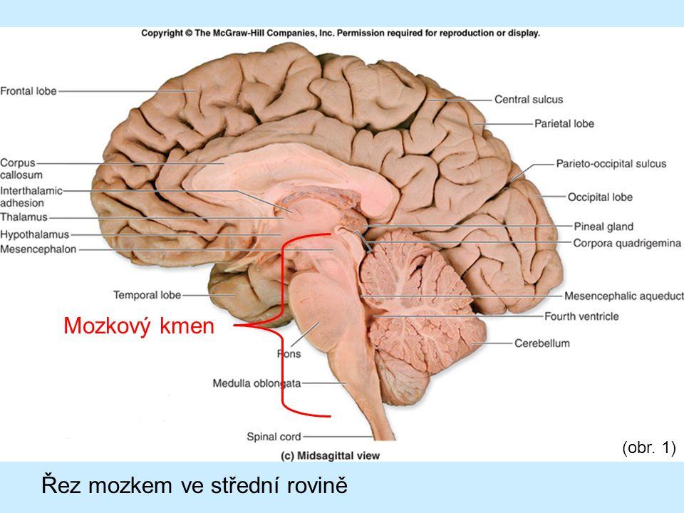 Tvořen třemi oddíly mozku: Prodloužená mícha (navazuje na páteřní míchu) Most (oddíl, ke kterému je připojen mozeček) Střední mozek (nad ním je umístěn mezimozek)