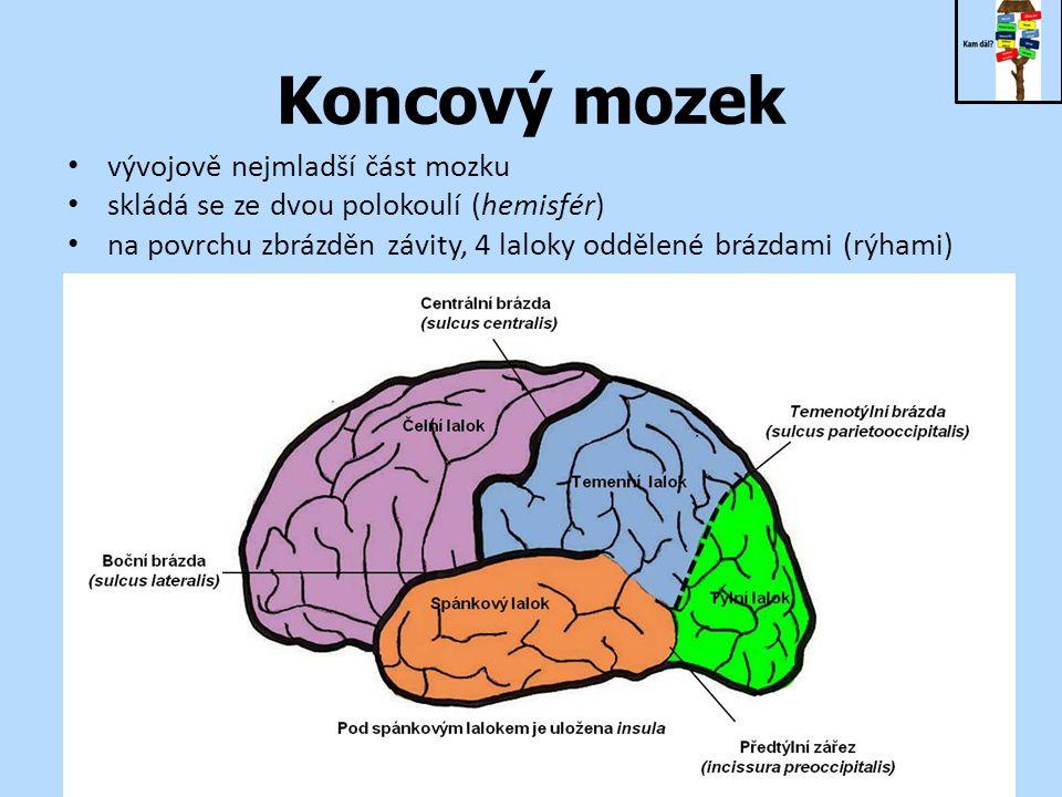 Koncový mozek vývojově nejmladší část mozku skládá se ze dvou polokoulí (hemisfér) na povrchu zbrázděn závity, 4 laloky oddělené brázdami (rýhami)