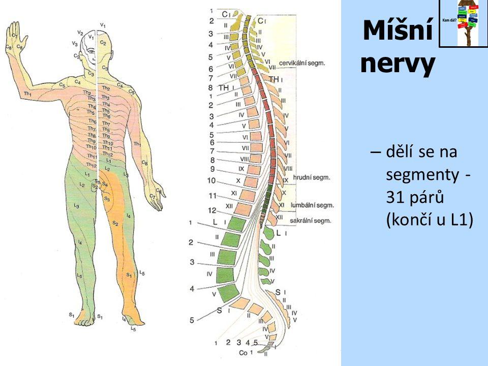 Míšní nervy – dělí se na segmenty - 31 párů (končí u L1)