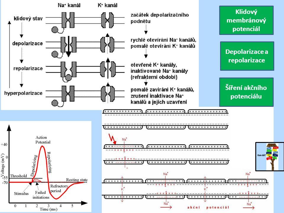 Klidový membránový potenciál Depolarizace a repolarizace Šíření akčního potenciálu