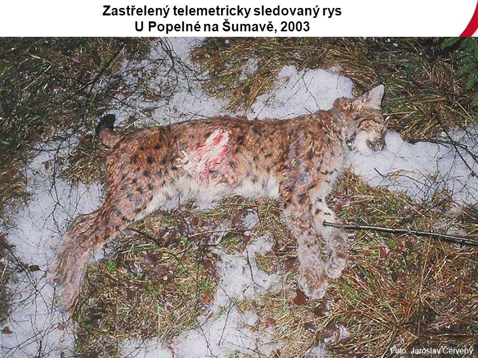 Foto: Jaroslav Červený Zastřelený telemetricky sledovaný rys U Popelné na Šumavě, 2003