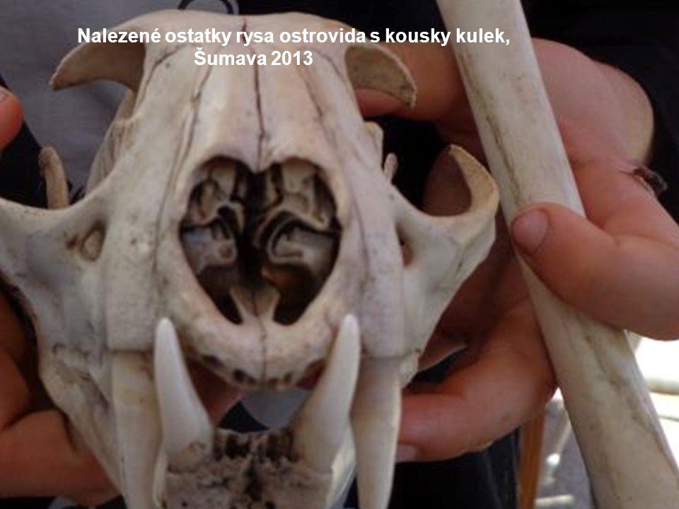 Nalezené ostatky rysa ostrovida s kousky kulek, Šumava 2013
