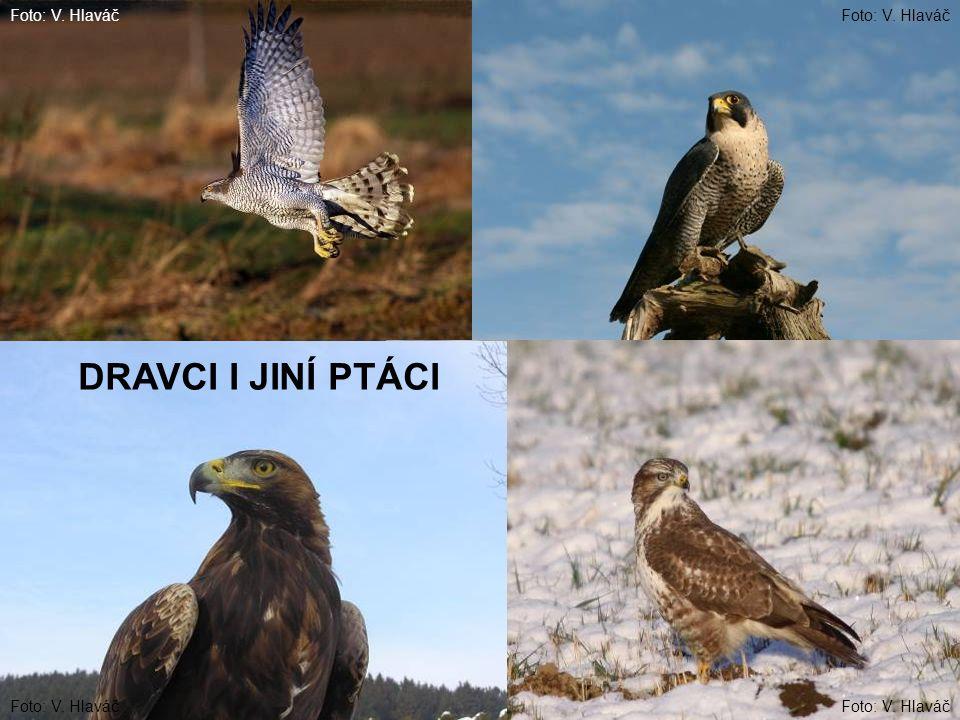 DRAVCI I JINÍ PTÁCI Foto: V. Hlaváč