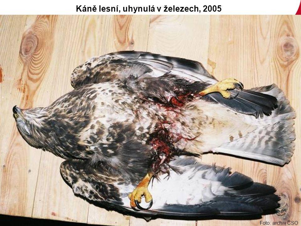Foto: archiv ČSO Káně lesní, uhynulá v železech, 2005