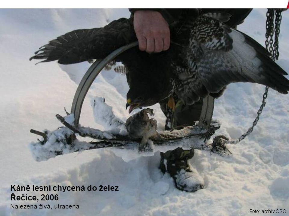 Foto: archiv ČSO Káně lesní chycená do želez Řečice, 2006 Nalezena živá, utracena