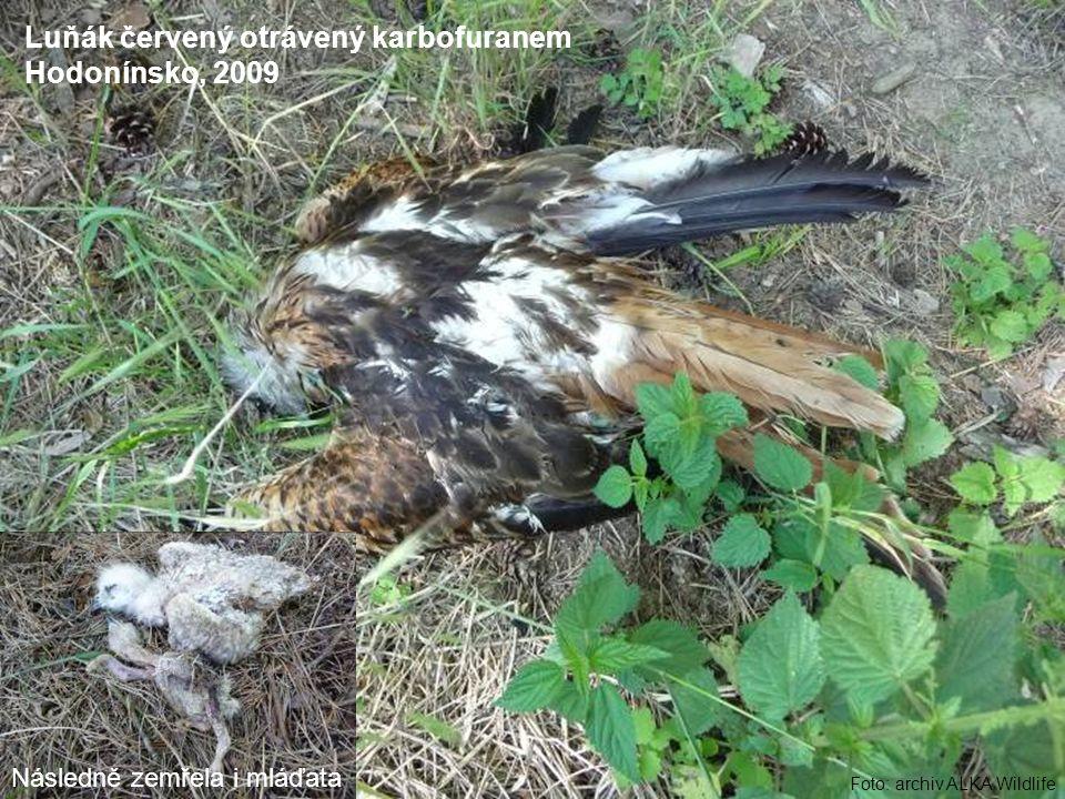 Foto: archiv ALKA Wildlife Luňák červený otrávený karbofuranem Hodonínsko, 2009 Následně zemřela i mláďata