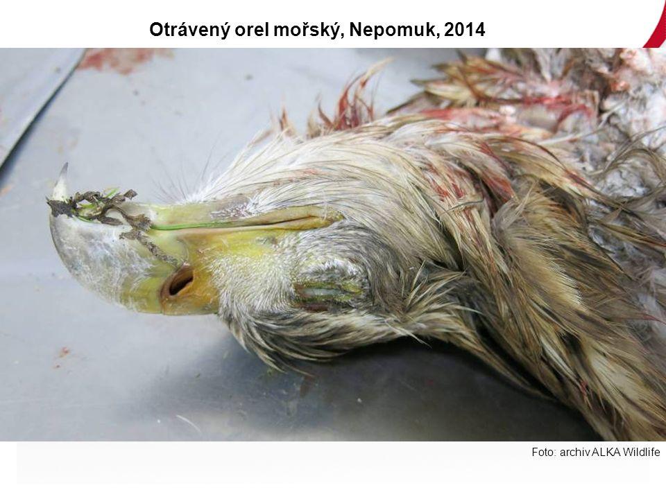 Foto: archiv ALKA Wildlife Otrávený orel mořský, Nepomuk, 2014