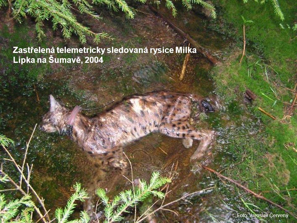 Foto: Jaroslav Červený Zastřelená telemetricky sledovaná rysice Milka Lipka na Šumavě, 2004