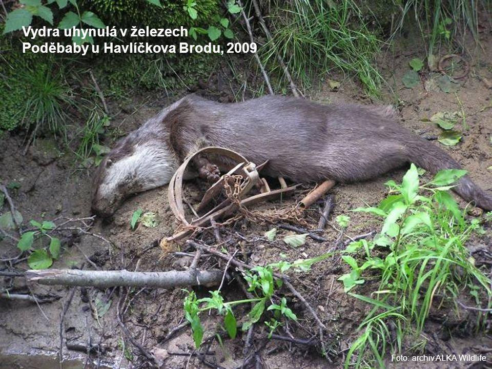 Foto: archiv ALKA Wildlife Vydra uhynulá v železech Poděbaby u Havlíčkova Brodu, 2009