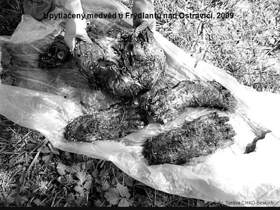 Foto: Správa CHKO Beskydy Upytlačený medvěd u Frýdlantu nad Ostravicí, 2009
