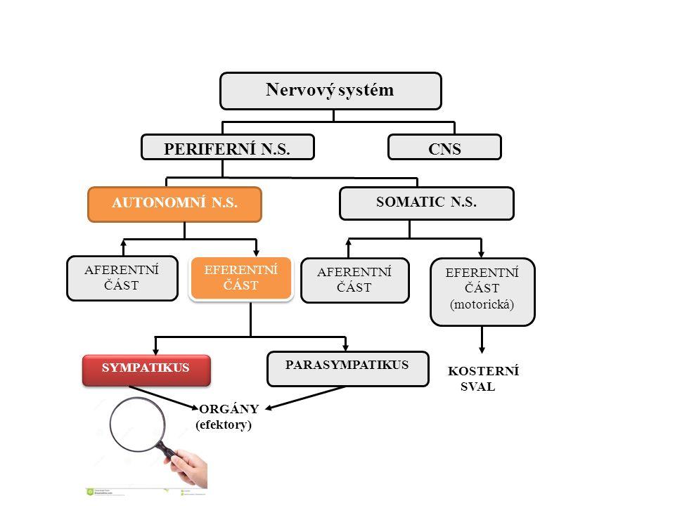 ORGÁNY (efektory) Nervový systém CNSPERIFERNÍ N.S. AFERENTNÍ ČÁST EFERENTNÍ ČÁST KOSTERNÍ SVAL SYMPATIKUS PARASYMPATIKUS SOMATIC N.S. AFERENTNÍ ČÁST E