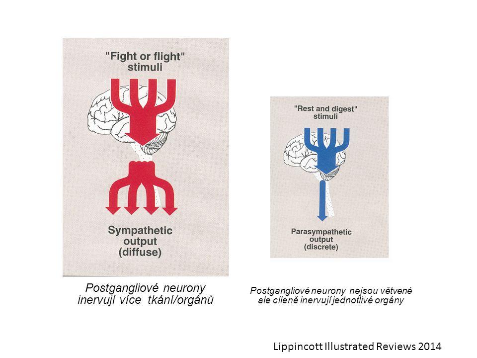 Postgangliové neurony inervují více tkání/orgánů Postgangliové neurony nejsou větvené ale cíleně inervují jednotlivé orgány Lippincott Illustrated Rev