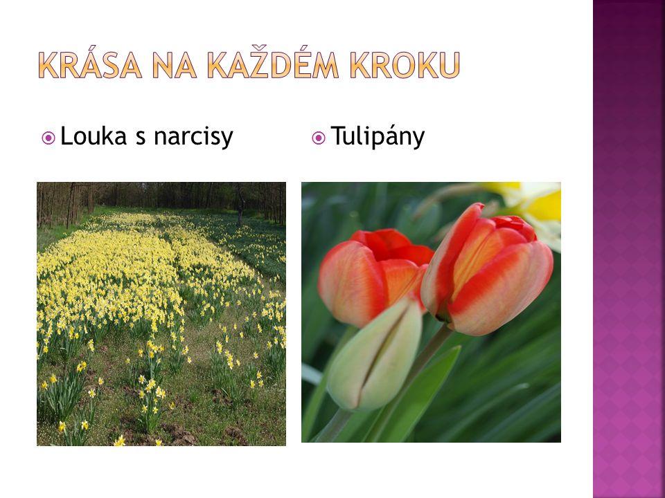  Louka s narcisy  Tulipány