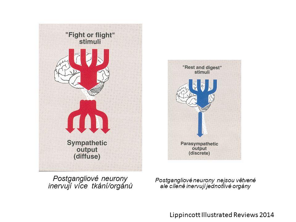 Postgangliové neurony inervují více tkání/orgánů Postgangliové neurony nejsou větvené ale cíleně inervují jednotlivé orgány Lippincott Illustrated Reviews 2014