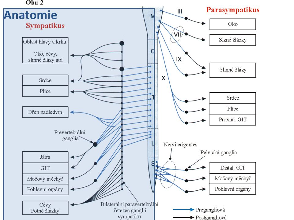 Autoregulace výdeje NOR – samotným neurotransmiterem (NOR) – Aktivace presynaptických α 2 receptorů aktivace G i -proteinů → ↓cAMP →↓ vstup Ca 2+ → inhibice exocytózy aktivace G o -proteinů → otevření K + kanálů → hyperpolarizace membrány → inhibice exocytózy – Inhibice výdeje NOR Presynaptický n.