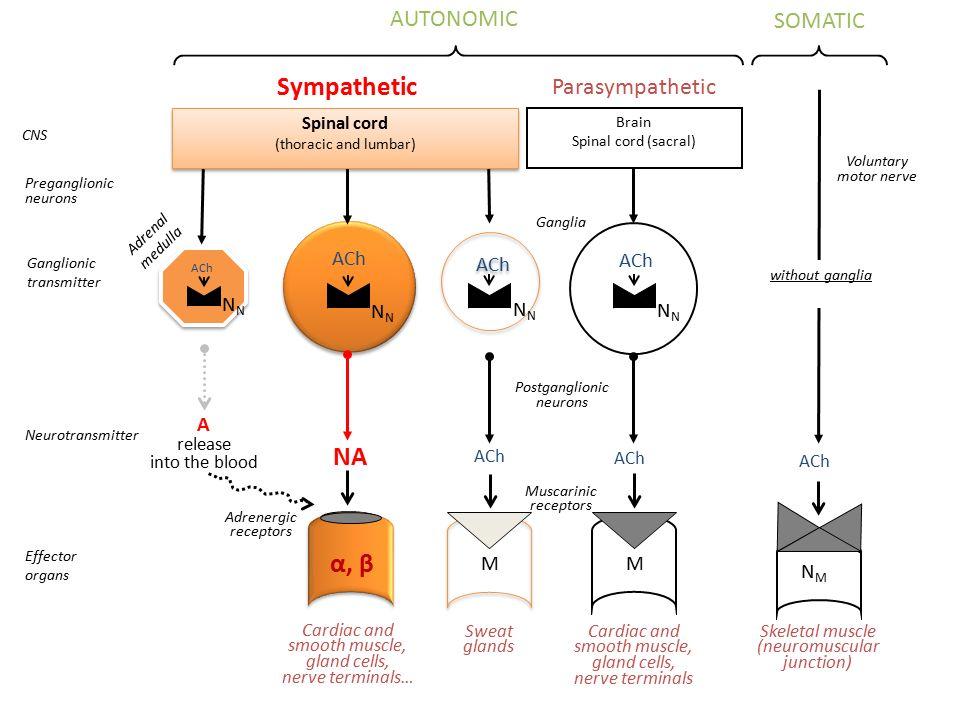 Přímo působící sympatomimetika  -sympatomimetika β 2 -selektivní sympatomimetika Užití jako bronchodilatancia a tokolytika Potlačeny kardiotropní nežádoucí účinky – selektivita je ale relativní (dávka) – vyšší vnímavost pacientů se srdečním selháním díky up-regulaci β 2 -R – tolerance při dlouhodobém podávání vyšších dávek při nutnosti zvyšování dávky – kardiotropní účinky významnější – výhodná kombinace s glukokortikoidy vyšší riziko u pacientů s ICHS, citlivých k arytmiím, užívajících tricyklická antidepresiva – pomalejší metabolismus MAO (ne KOMT) – u astmatu – možná kombinace s ipratropiem či kromoglykátem
