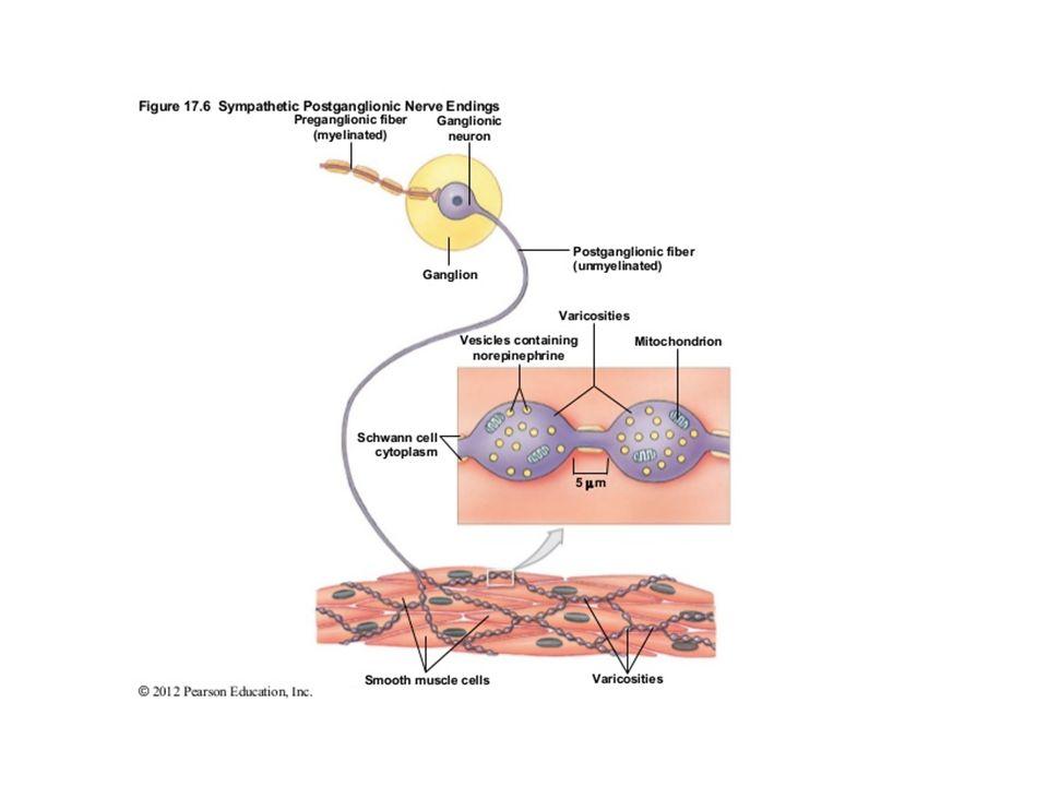 Syntéza, skladování a uvolňování katecholaminů Syntéza katecholaminů Prekursor = tyrosin (aktivně do nervových zakončení) Syntéza v několika stupních: – v cytoplazmě neuronu (1, 2 a 5) – ve vezikulách (3 a 4) 1)tyrosin → L-DOPA (dihydroxyfenylalanin) Tyrosinhydroxyláza: hydroxylace = limitující stupeň syntézy NOR 2)L-DOPA → dopamin DOPA-dekarboxyláza: odštěpení -COOH 3)dopamin: z cytoplasmy → do vezikul (lze blokovat reserpinem) 4)dopamin → noradrenalin (NOR, syntéza uvnitř vezikul) dopamin-beta-hydroxyláza:  -hydroxylace 5)noradrenalin → adrenalin (ADR, syntéza v cytoplasmě) N-methyltransferáza: N-methylace NOR (pak aktivně zpět do vezikul)