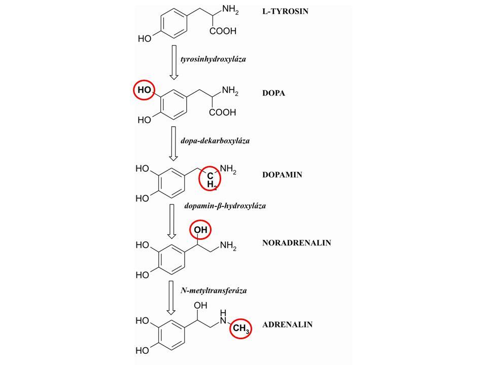 Syntéza, skladování a uvolňování ADRENALINU Hlavní místo syntézy ADR – dřeň nadledvin fylogeneticky = ganglion zde ADR = až 80 % obsahu katecholaminů sekrece přímo do krve – regulována glukokortikoidy indukce N-metyltransferázy, DOPA-dekarboxylázy i beta- hydroxylázy = adaptace na stres v adrenergních zakončeních zejména NOR a málo ADR