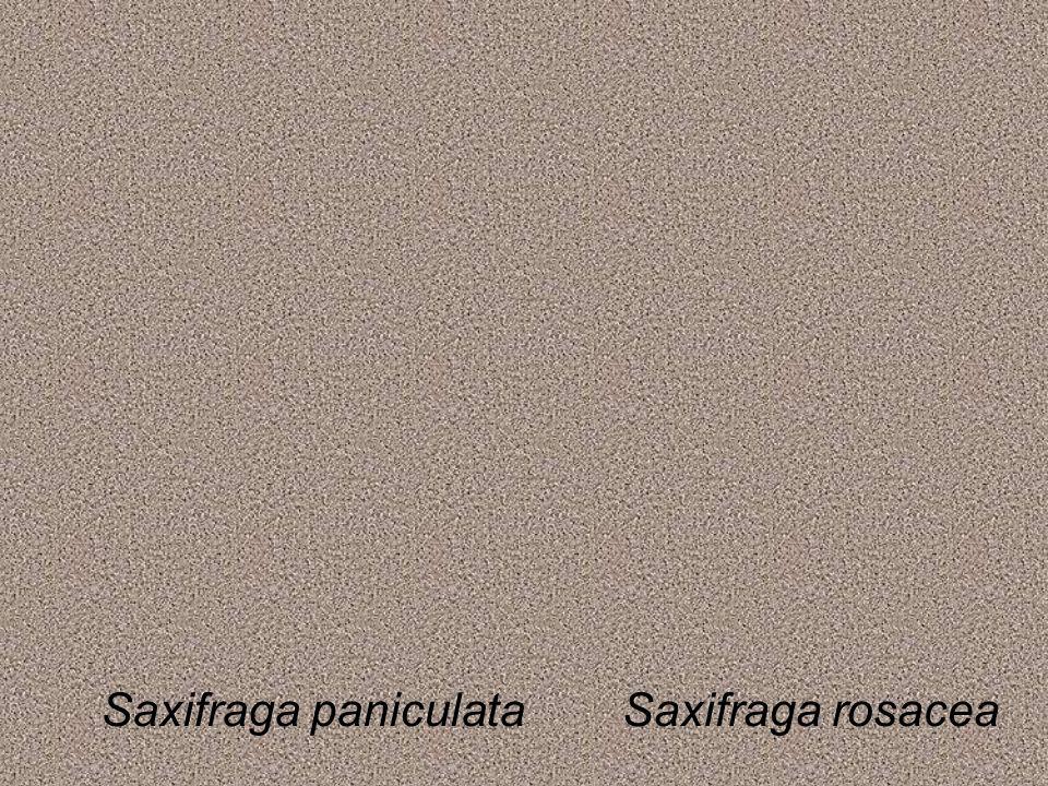 Saxifraga paniculataSaxifraga rosacea