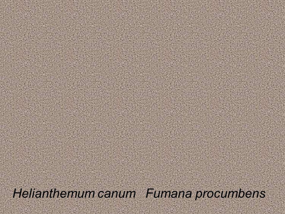 Helianthemum canumFumana procumbens
