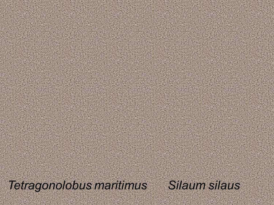 Tetragonolobus maritimusSilaum silaus