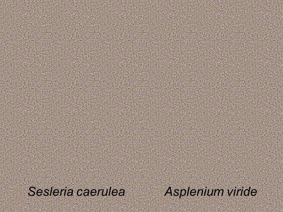 Sesleria caeruleaAsplenium viride