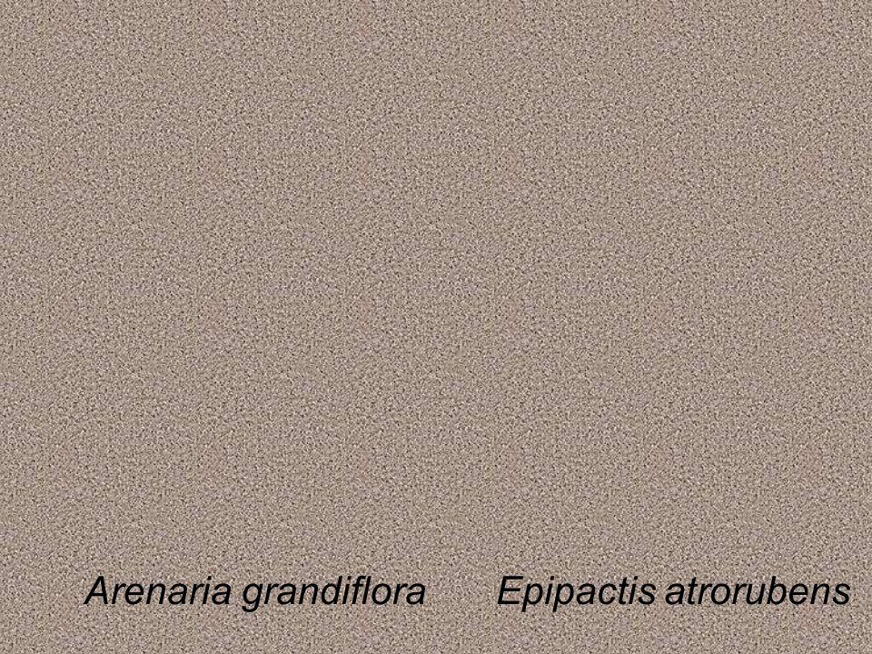 Arenaria grandifloraEpipactis atrorubens