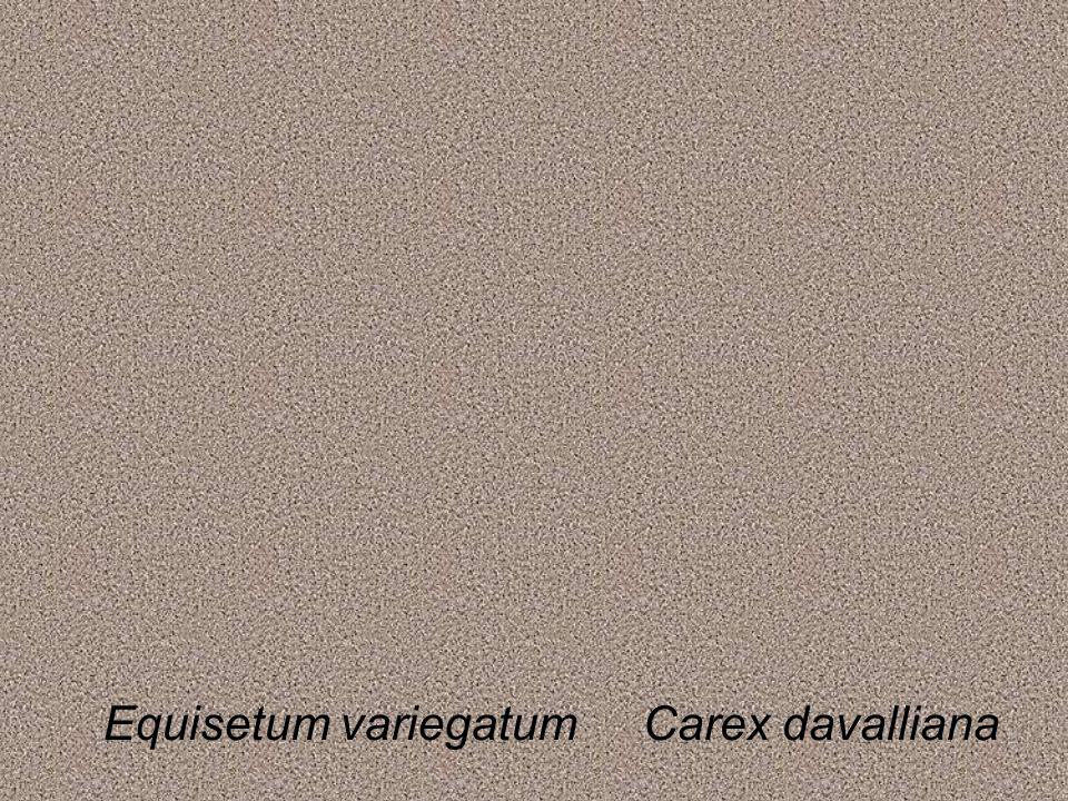 Equisetum variegatumCarex davalliana
