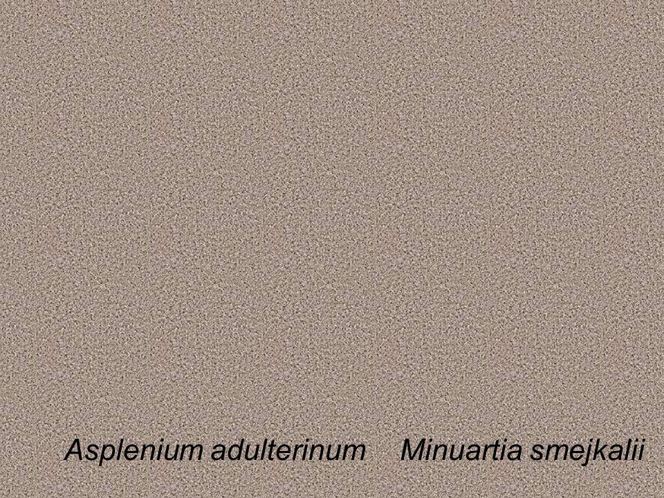 Asplenium adulterinumMinuartia smejkalii