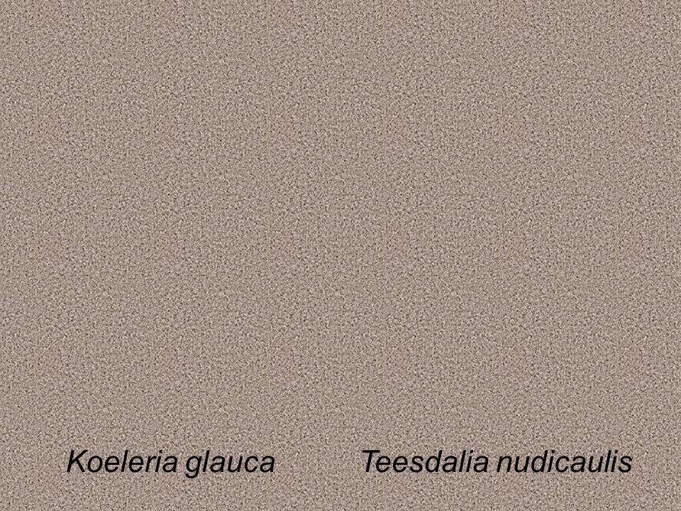 Koeleria glaucaTeesdalia nudicaulis