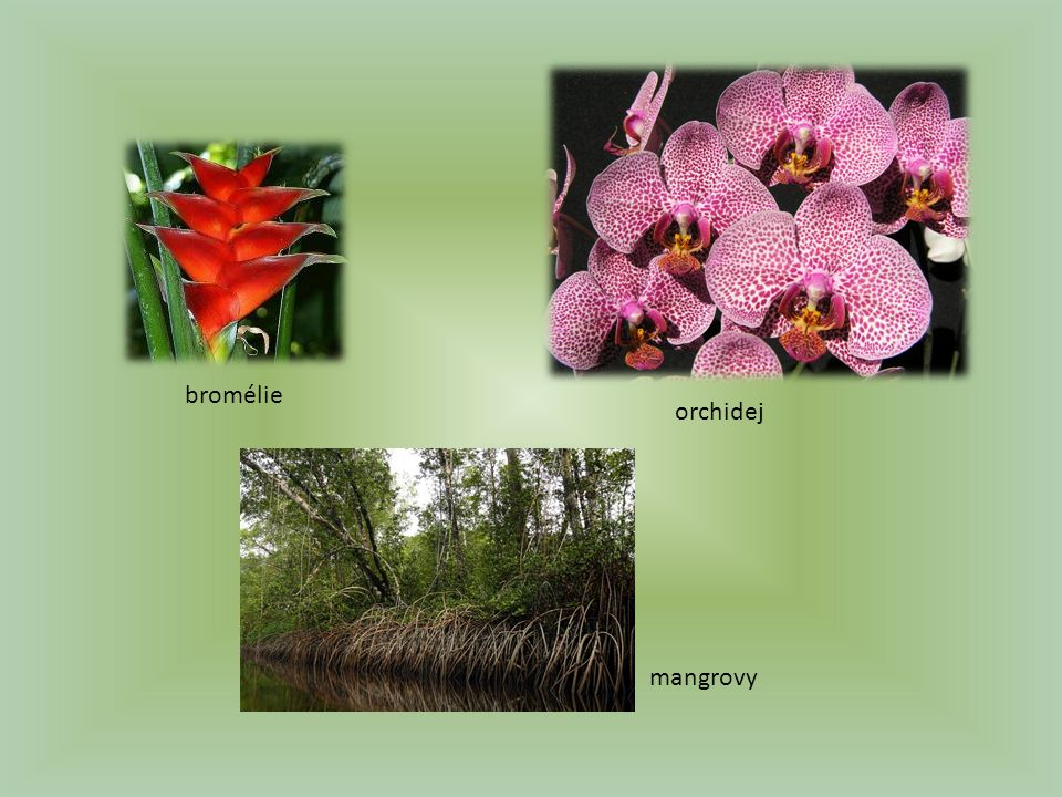 bromélie orchidej mangrovy