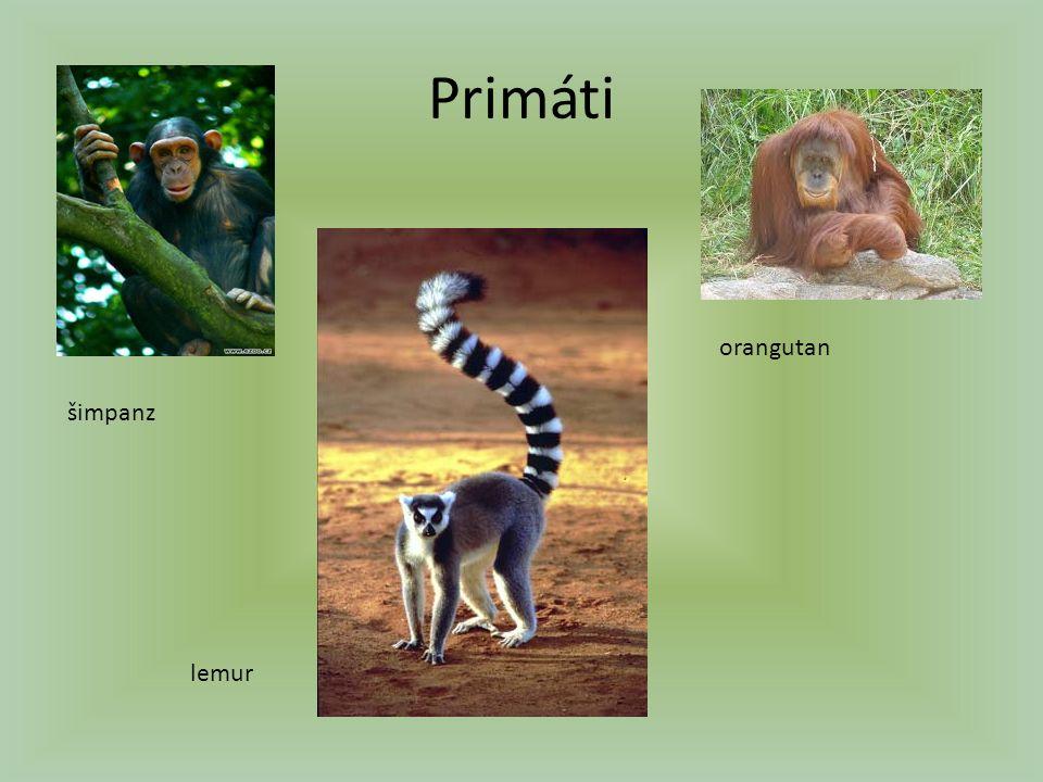 Primáti šimpanz lemur orangutan