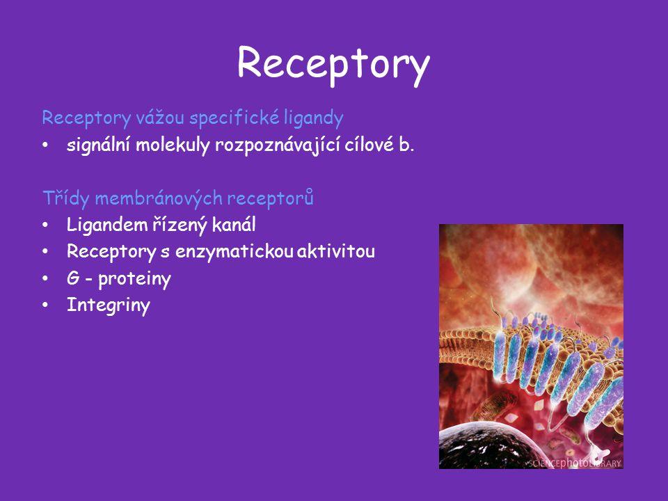 Receptory Receptory vážou specifické ligandy signální molekuly rozpoznávající cílové b.