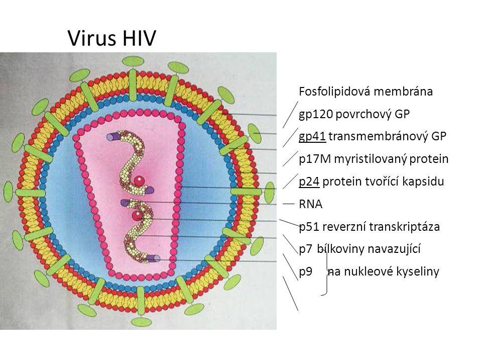 Virus HIV Fosfolipidová membrána gp120 povrchový GP gp41 transmembránový GP p17M myristilovaný protein p24 protein tvořící kapsidu RNA p51 reverzní transkriptáza p7 bílkoviny navazující p9na nukleové kyseliny
