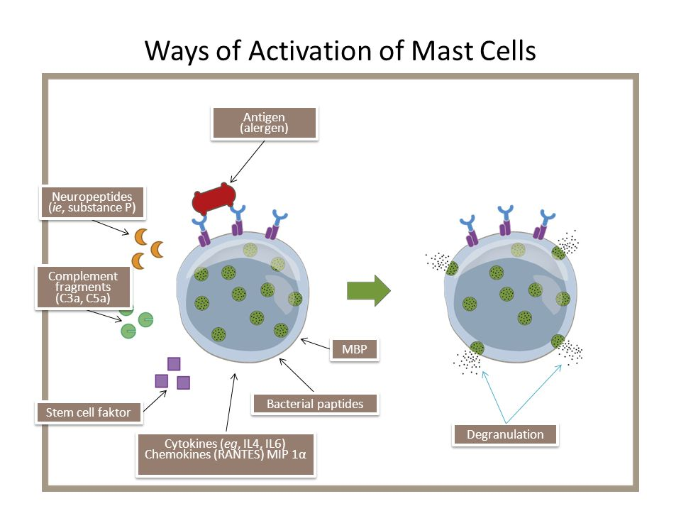 Ways of Activation of Mast Cells Antigen (alergen) Degranulation Neuropeptides (ie, substance P) Neuropeptides (ie, substance P) Stem cell faktor Comp